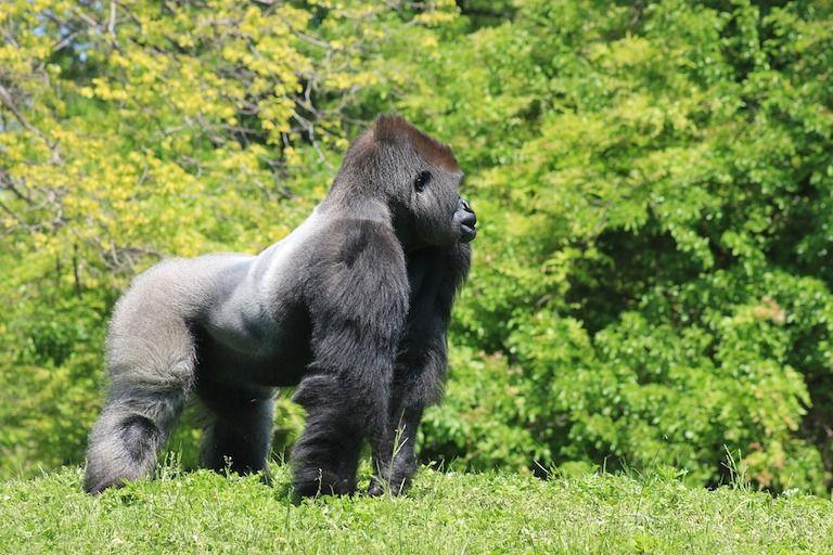 Gorilla áll zöld fűvön