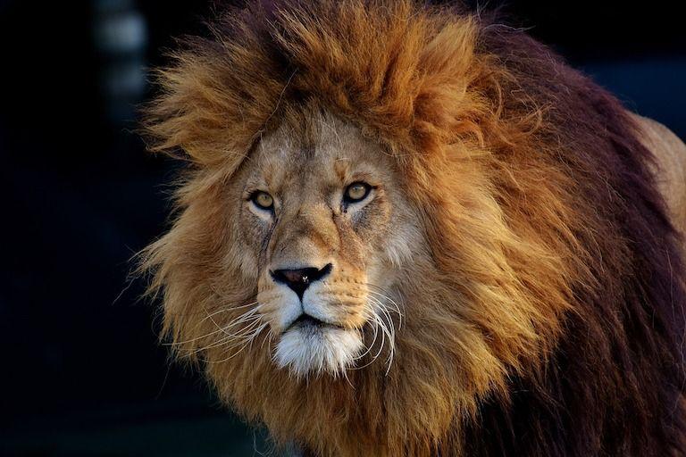 oroszlán nagy sörénnyel