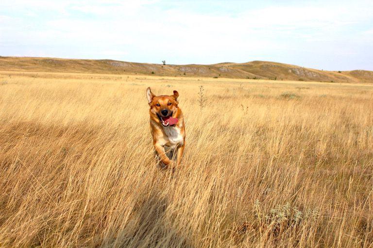 Edi kutya rohan a mezőn felém lógó nyelvvel