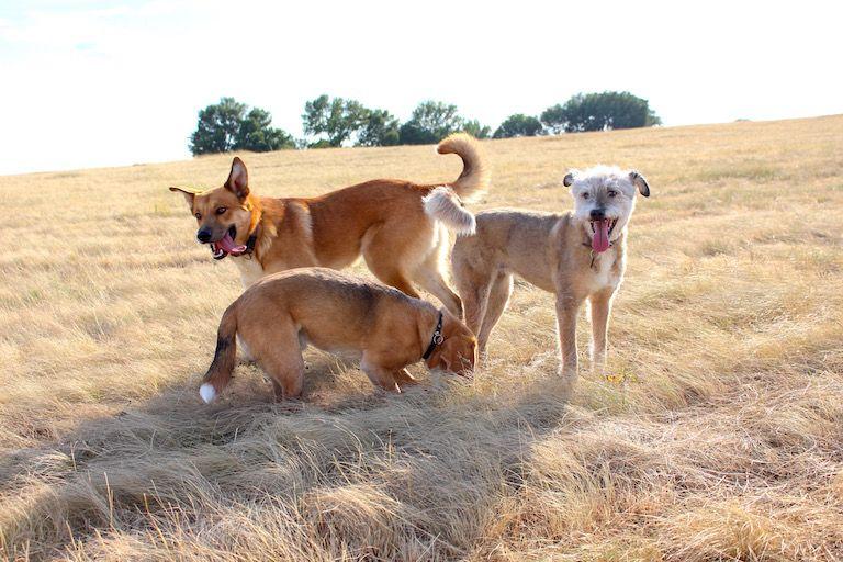 Edi kutya Egonnal és Tökivel a mezőn