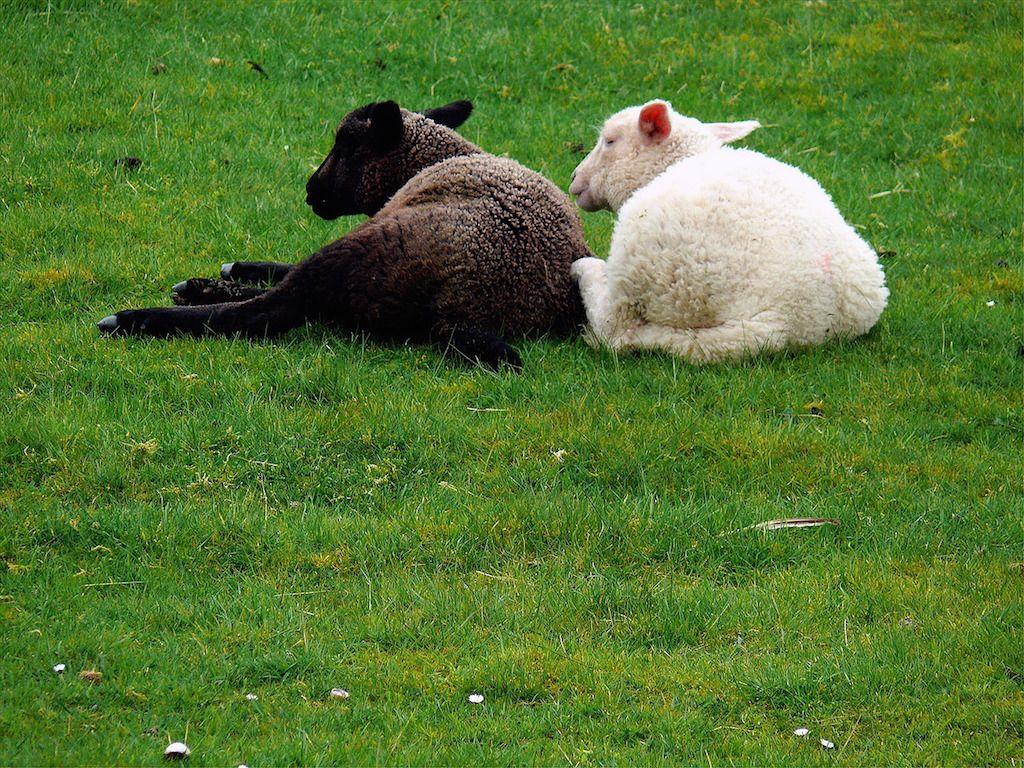 Fehér és fekete bárány együtt