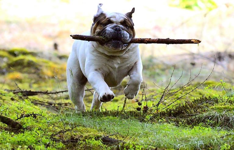 Angol bulldog bottal a szájában