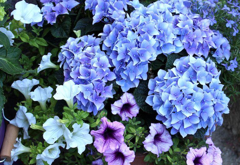 Kép 1: pillanatok, hortenzia, kék hortenzia, virágok