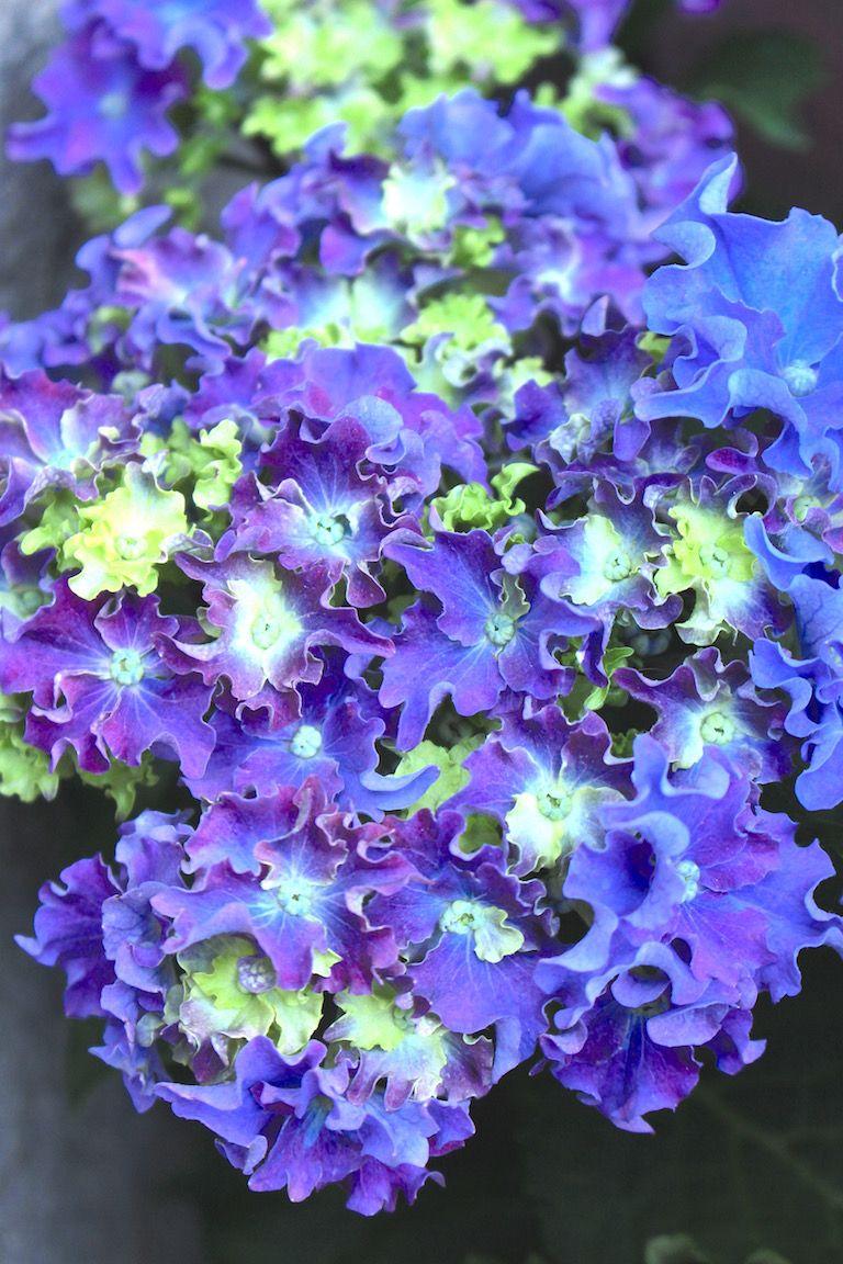 Kép 2: pillanatok, hortenzia, kék hortenzia, virágok