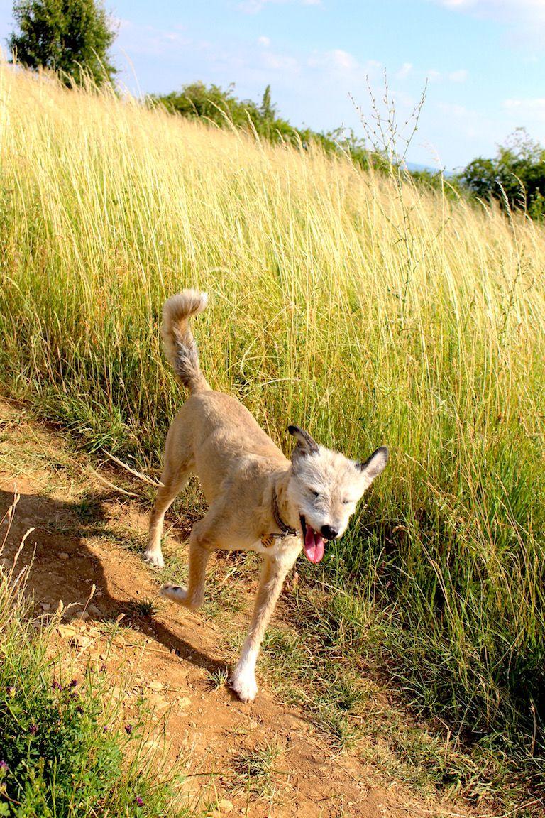 Töki kutyánk a földúton megy miközben a szél hátrafújja a füleit, magas fűvel a háttérben
