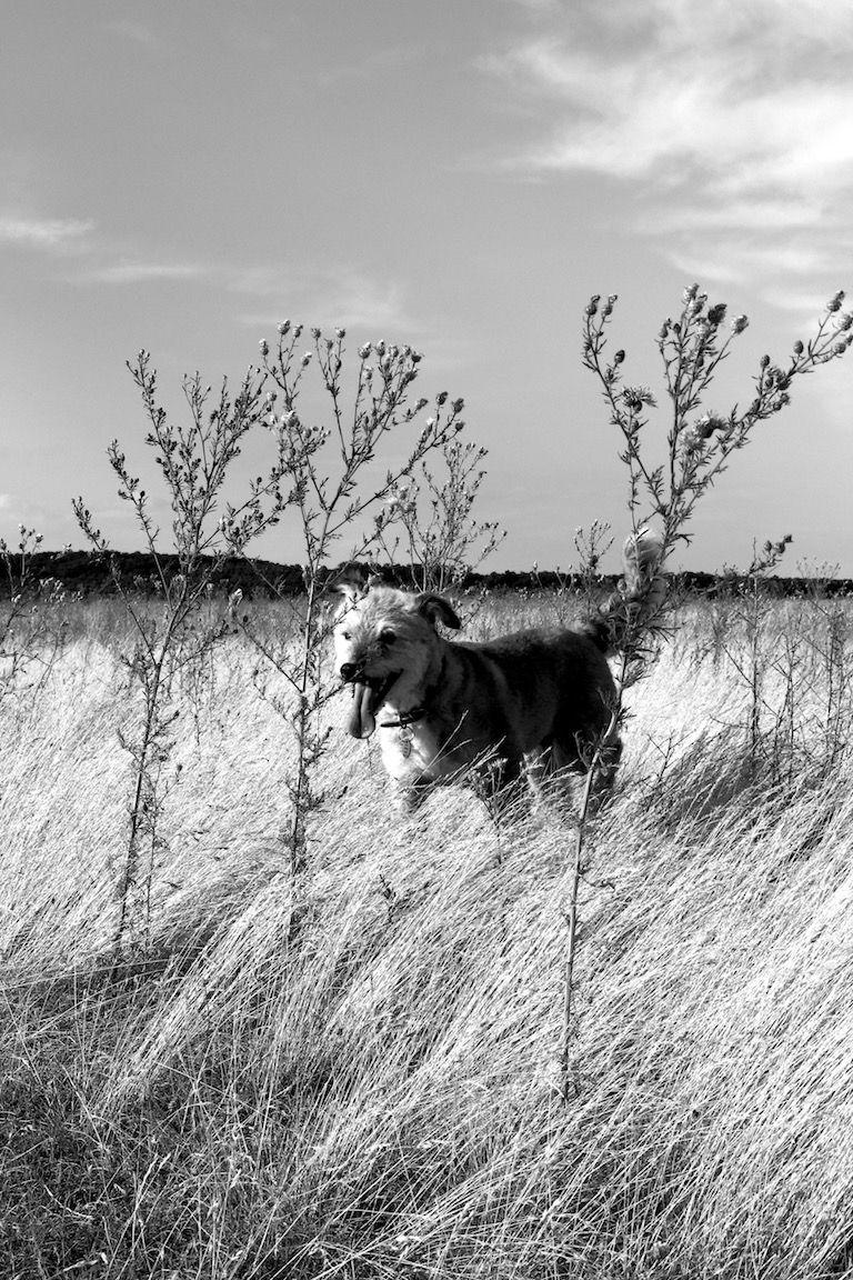 Töki kutyánk a mező közepén, magas fűben, lógó nyelvvel, boldogan